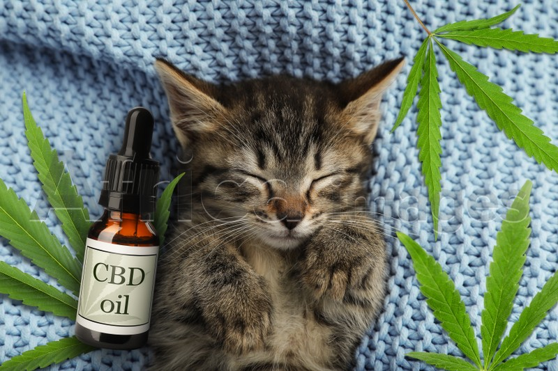 Bottle of CBD oil and cute kitten sleeping on blue knitted blanket, top view