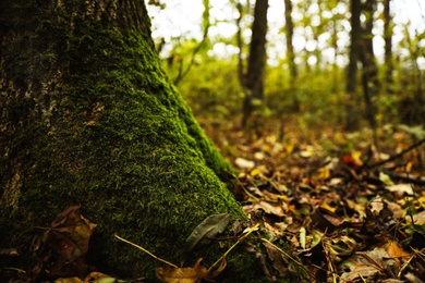 Tree trunk with green moss in forest on autumn day