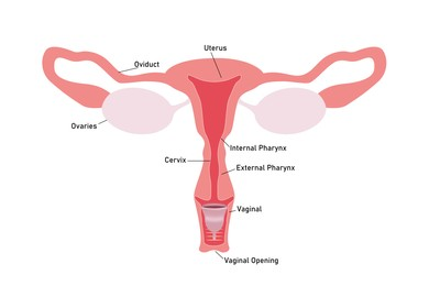 Instruction how to use menstrual cup during period. Female reproductive system on white background, illustration