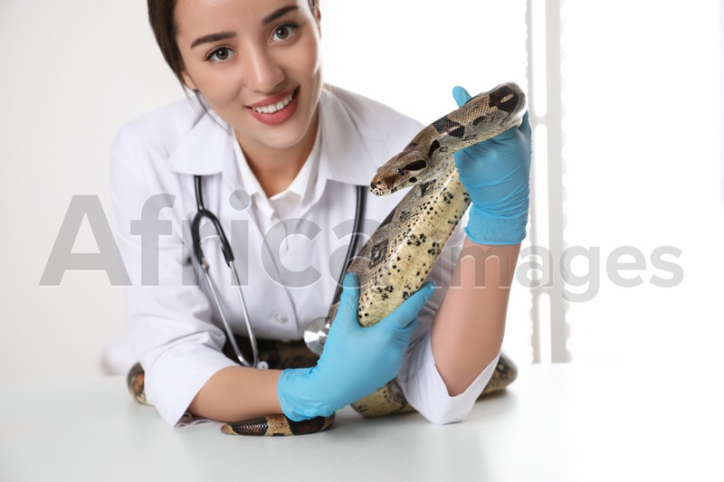Young female veterinarian examining boa constrictor in clinic