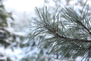 Frosty pine branch on blurred background, closeup. Winter snowy forest