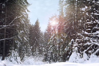 Picturesque view of snowy coniferous forest on winter day