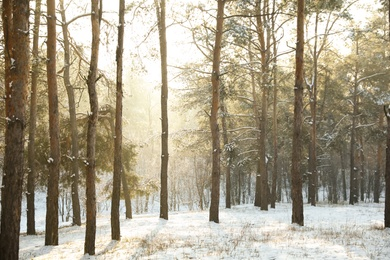 Beautiful snowy forest on sunny morning in winter