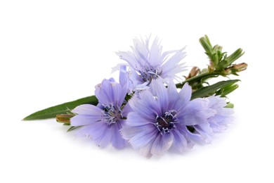 Beautiful tender chicory flowers on white background