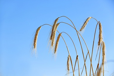 Wheat spikelets against blue sky on sunny day. Cereal grain crop