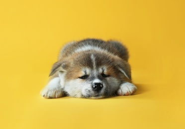 Adorable Akita Inu puppy on yellow background
