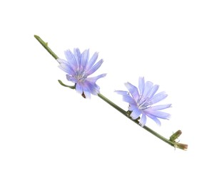 Beautiful chicory plant with light blue flowers isolated on white