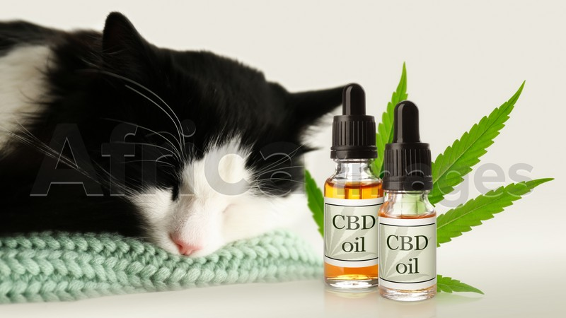 Bottles of CBD oil and cute cat sleeping on plaid