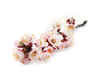 Beautiful blossoming apricot tree branch on white background