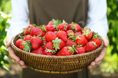 Woman holding wicker basket with ripe strawberries outdoors, closeup