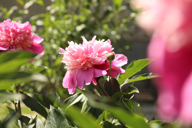 Beautiful blooming pink peony bush outdoors on sunny day