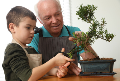 Senior man with little grandson taking care of Japanese bonsai plant indoors. Creating zen atmosphere at home