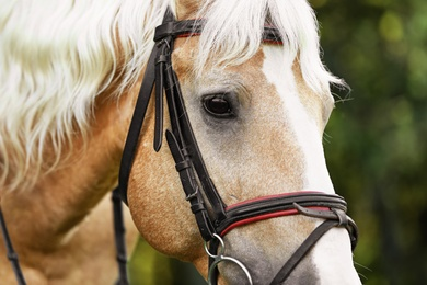 Palomino horse in bridle on blurred background, closeup