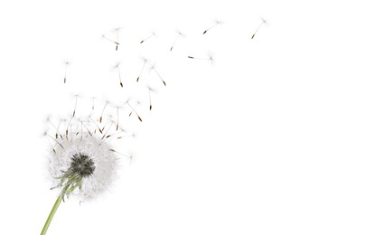 Beautiful puffy dandelion blowball and flying seeds on white background