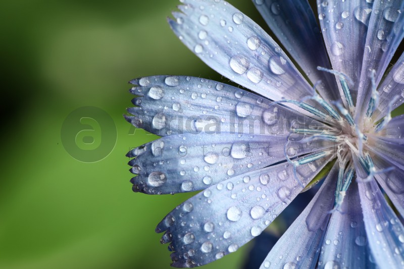 Beautiful blooming chicory flower growing on blurred background, closeup
