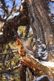 Cute squirrel with walnut on acacia tree in winter forest