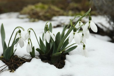 Beautiful blooming snowdrops growing outdoors. Spring flowers