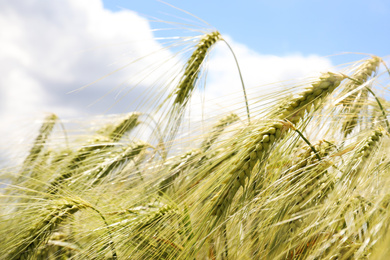 Closeup view of agricultural field with ripening cereal crop