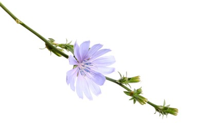 Beautiful blooming chicory flower isolated on white