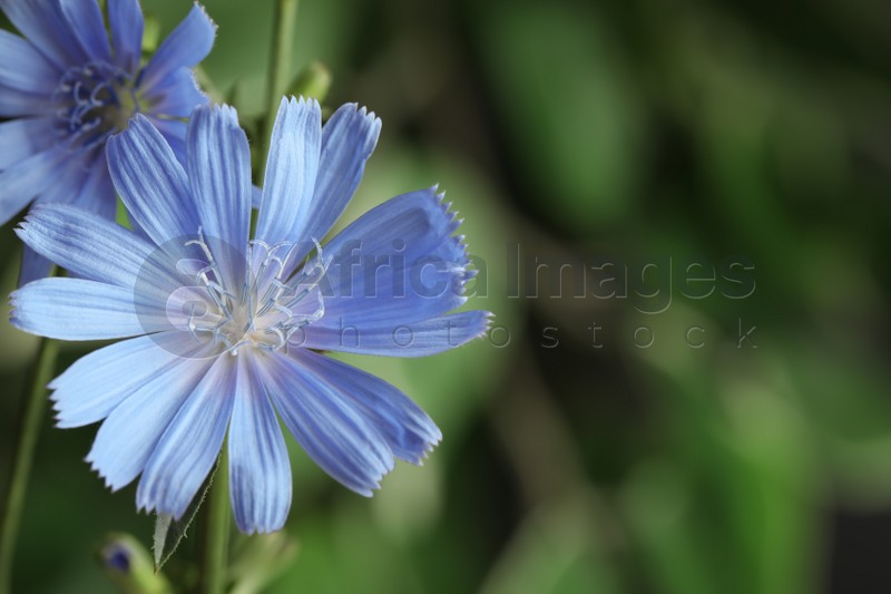 Beautiful blooming chicory flowers growing outdoors, closeup. Space for text