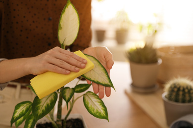 Young woman wiping Dieffenbachia plant at home, closeup. Engaging hobby