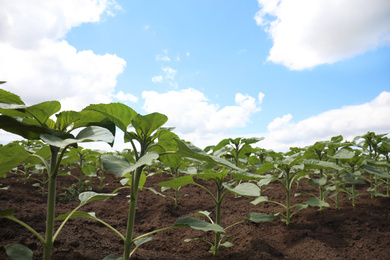 Agricultural field with young sunflower plants on sunny day