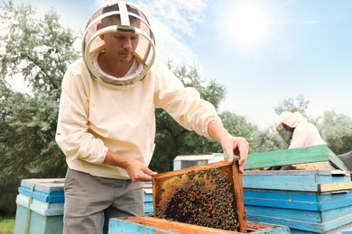 Beekeeper in uniform taking frame from hive at apiary. Harvesting honey