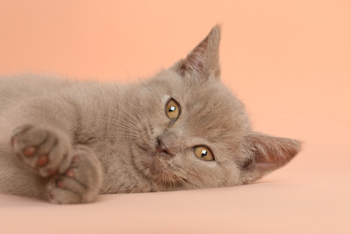 Scottish straight baby cat on pale pink background, closeup