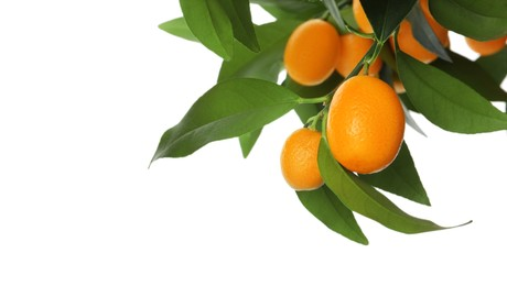 Kumquat tree branch with ripe fruits isolated on white