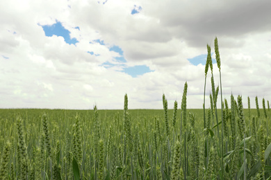 Green wheat field under cloudy sky, closeup. Agricultural industry
