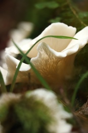 Wild oyster mushrooms and green vegetation in forest, closeup