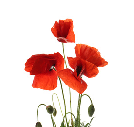 Beautiful red poppy flowers isolated on white