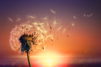 Beautiful fluffy dandelion and flying seeds outdoors at sunset