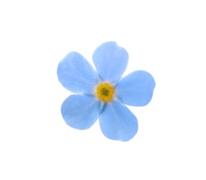 Beautiful blue Forget-me-not flower isolated on white