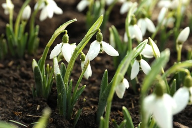 Beautiful snowdrops covered with dew outdoors. Early spring flowers