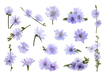Beautiful tender chicory flowers on white background, collage