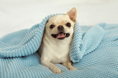 Adorable Toy Terrier under light blue knitted blanket on bed. Domestic dog
