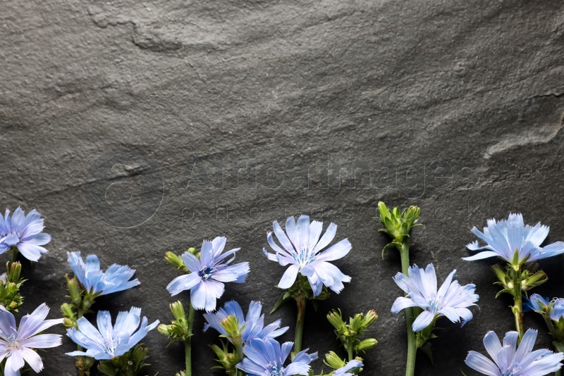 Beautiful chicory flowers on grey background, flat lay. Space for text