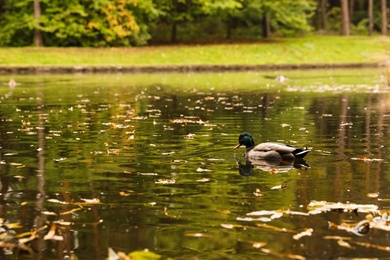 Cute duck swimming in pond on autumn day