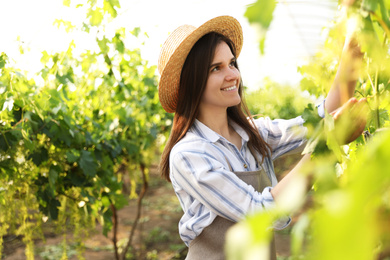 Happy young woman working with cultivated grape plants in greenhouse