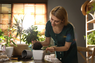 Young woman potting ficus plant at home. Engaging hobby