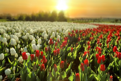 Beautiful view of field with blossoming tulips on sunny day