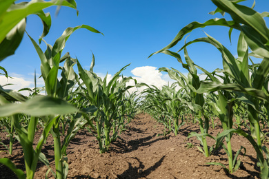 Beautiful view of corn field. Agriculture industry