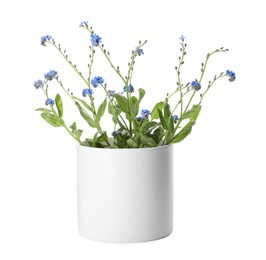 Beautiful potted Forget-me-not flowers on white background