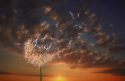 Beautiful fluffy dandelion blowball and flying seeds outdoors at sunset
