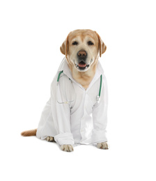 Cute Labrador dog in uniform with stethoscope as veterinarian on white background