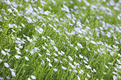 Beautiful view of blooming flax field on summer day