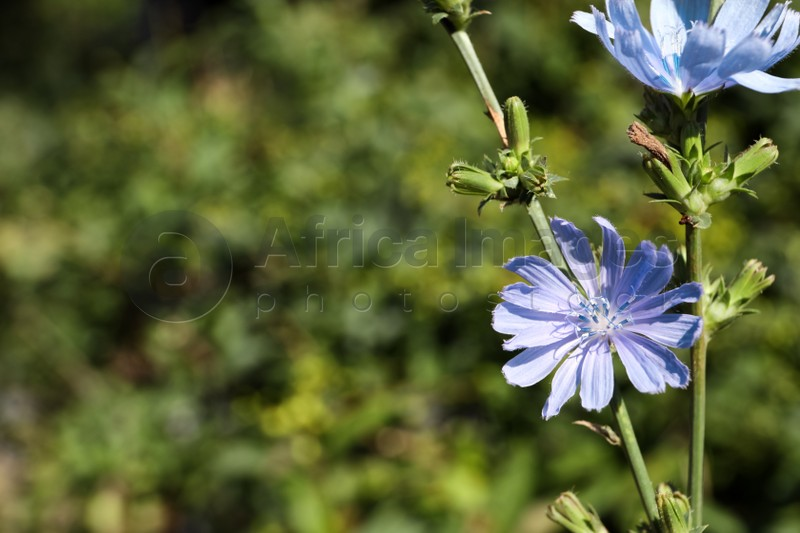 Beautiful blooming chicory flowers growing outdoors. Space for text