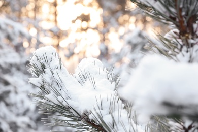 Snowy pine branches on blurred background, closeup. Winter forest