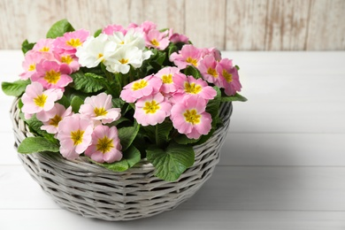 Beautiful primula (primrose) flowers in wicker basket on white wooden table. Spring blossom